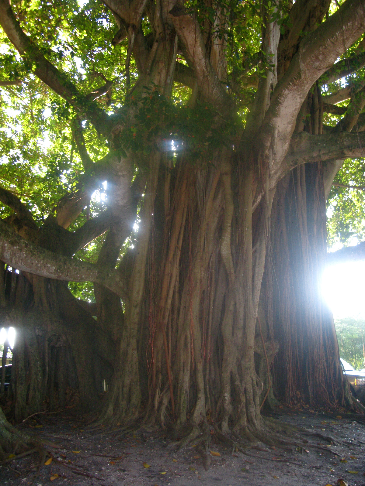 A Magical Tree in Coconut Grove