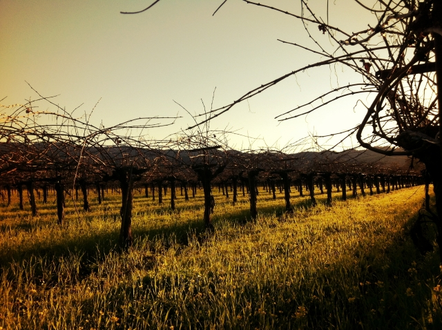 Magic Hour among The Vines